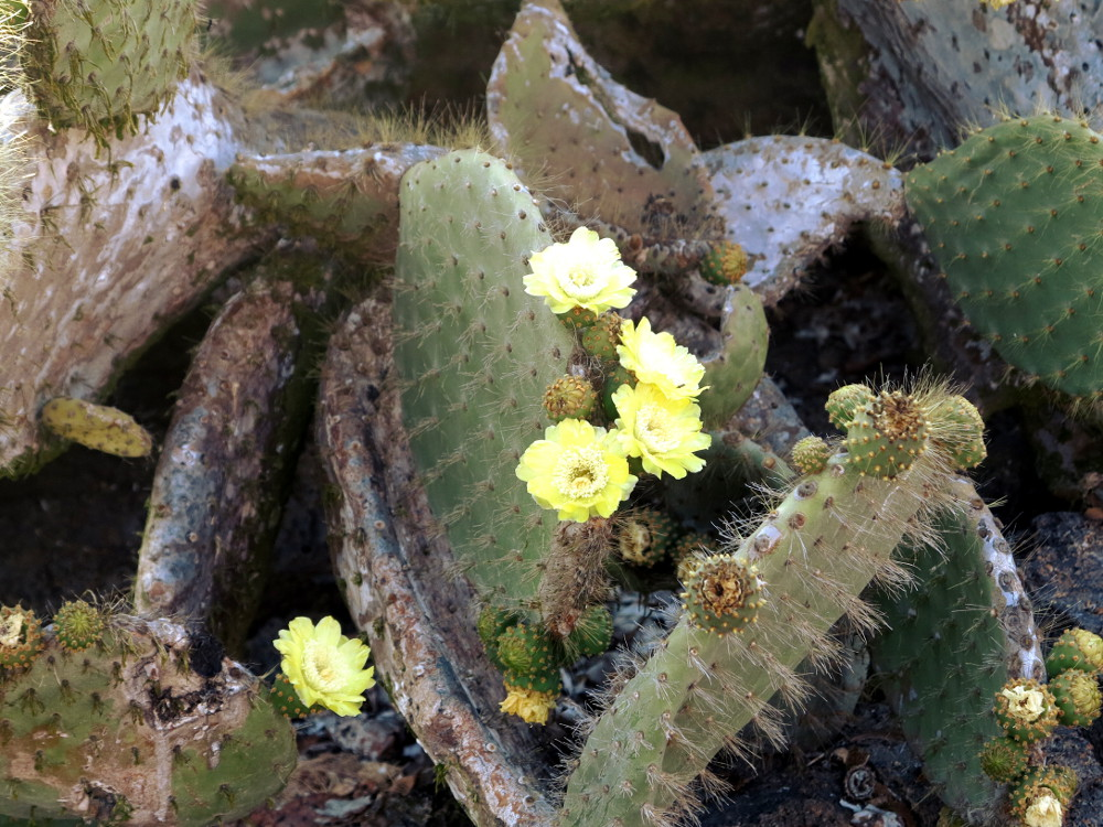 Prickly pear cactus flowers Galapagos Double-Barrelled Travel
