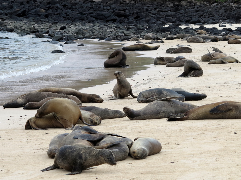 Sea lions on Santa Fe Galapagos Double-Barrelled Travel