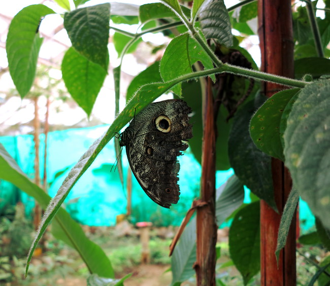 Butterfly Mindo Ecuador Double-Barrelled Travel