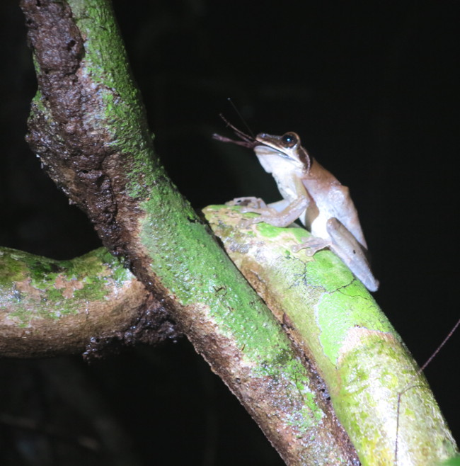 Night frog Ecuador Amazon Double-Barrelled Travel