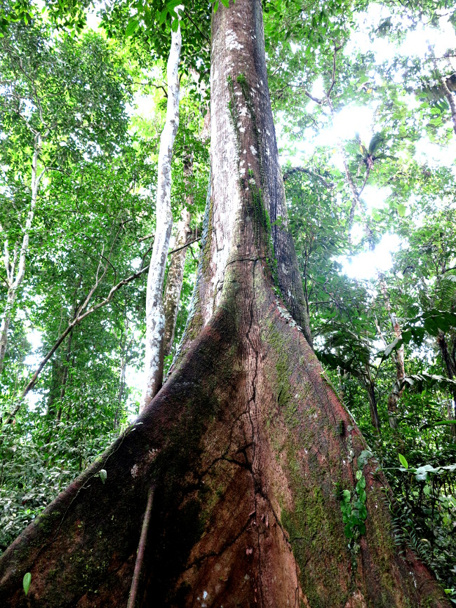Tree in the Ecuador Amazon Double-Barrelled Travel