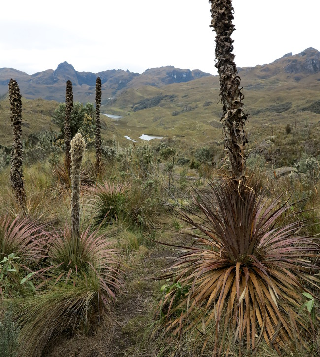 Cajas National Park flora Double-Barrelled Travel