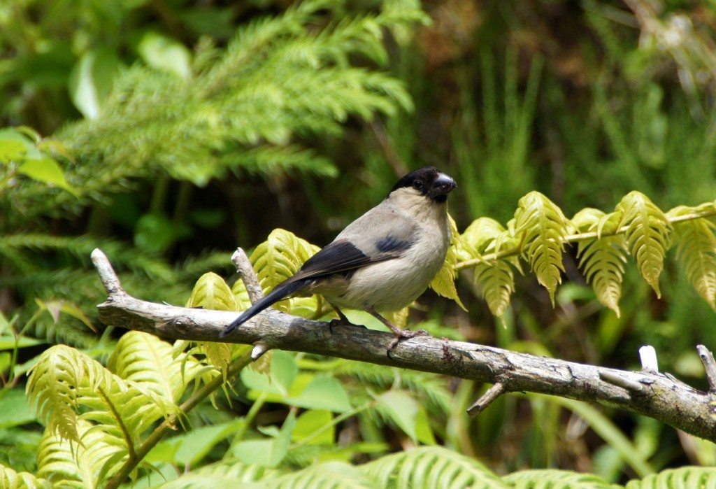 Azores bullfinch Double-Barrelled Travel