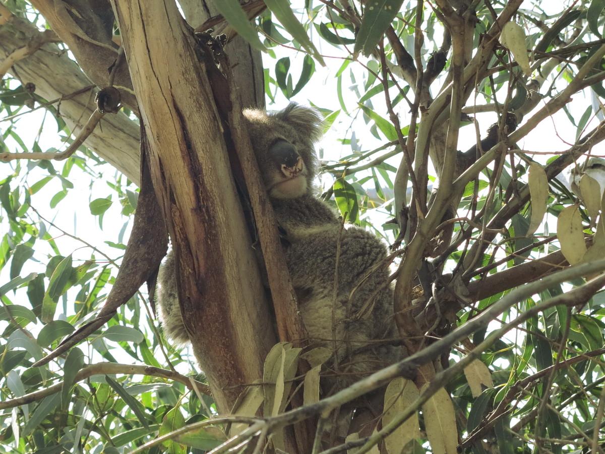 Koala great ocean road Double-Barrelled Travel