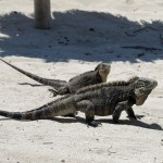 Iguanas Iguana Island Cuba Double-Barrelled Travel