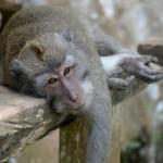 Monkey relaxing Monkey Forest Ubud Double-Barrelled Travel
