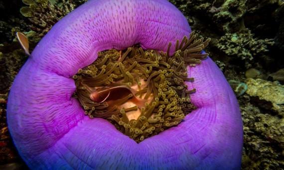Great Barrier Reef anemone Wanderlusters