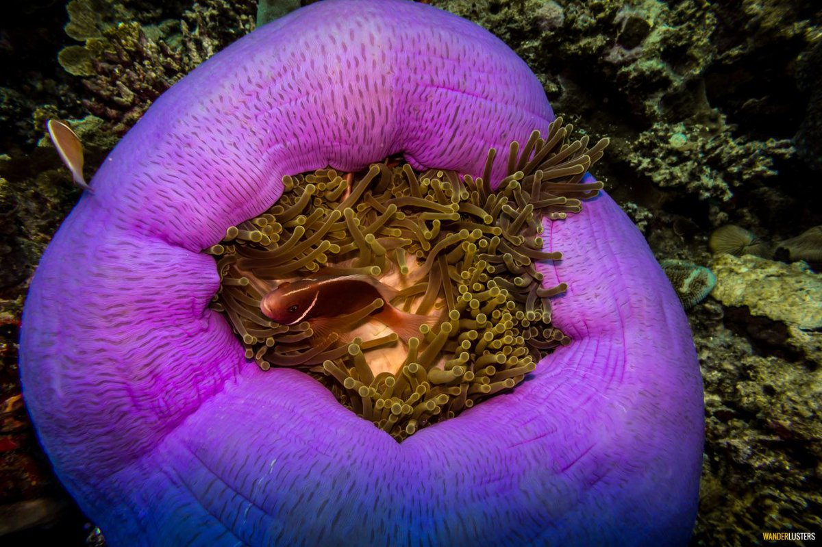 Great Barrier Reef anemone Wanderlusters