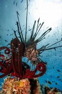 Great Barrier Reef lion fish Wanderlusters