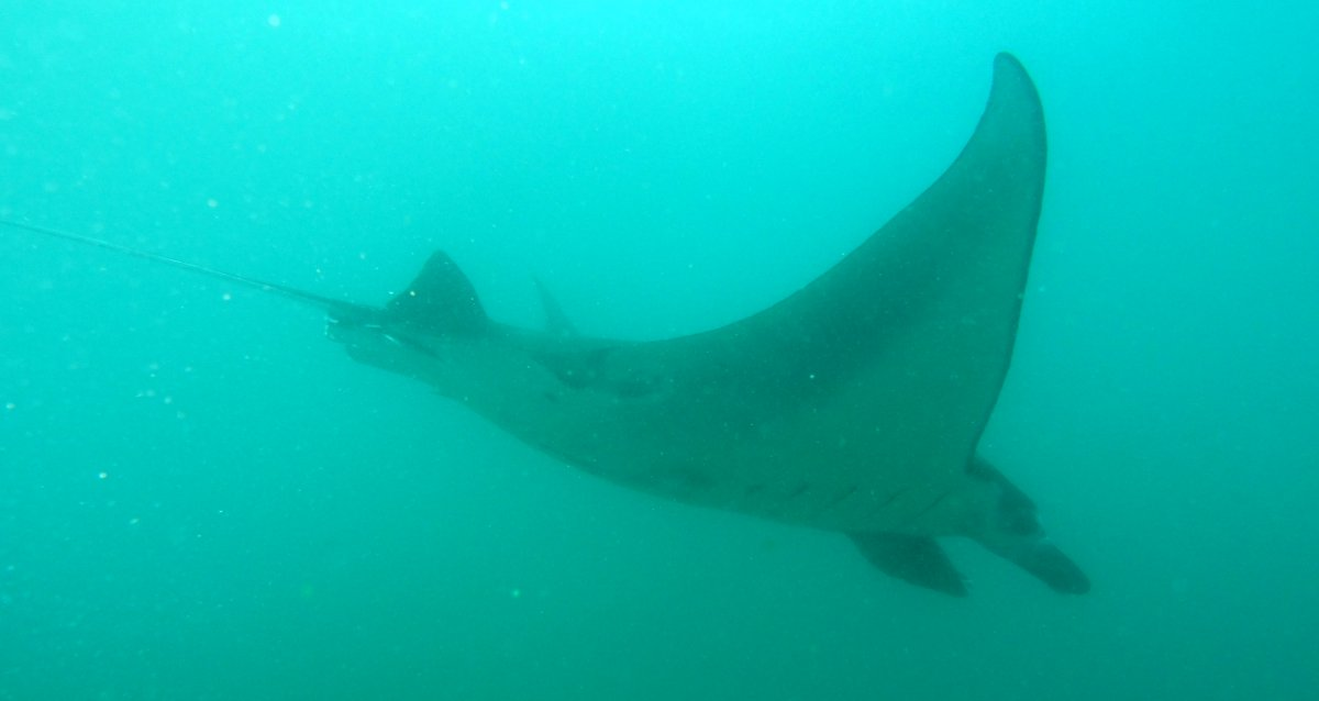 Manta Ray Nusa Lembongan Double-Barrelled Travel