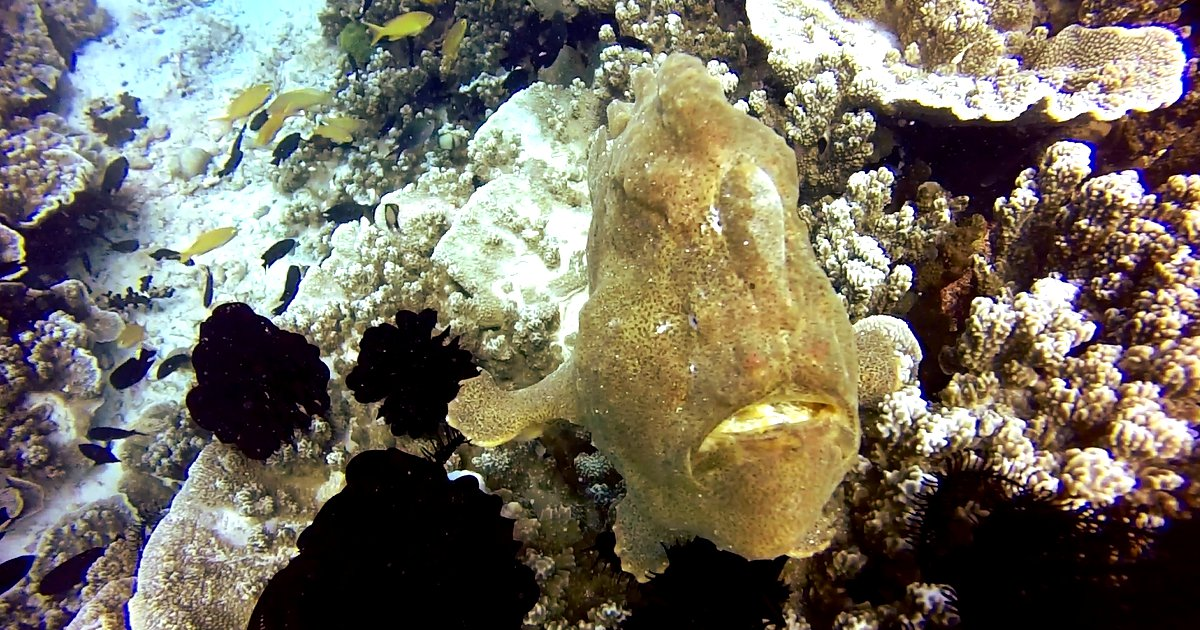 Frog fish scuba diving Philippines Double-Barrelled Travel