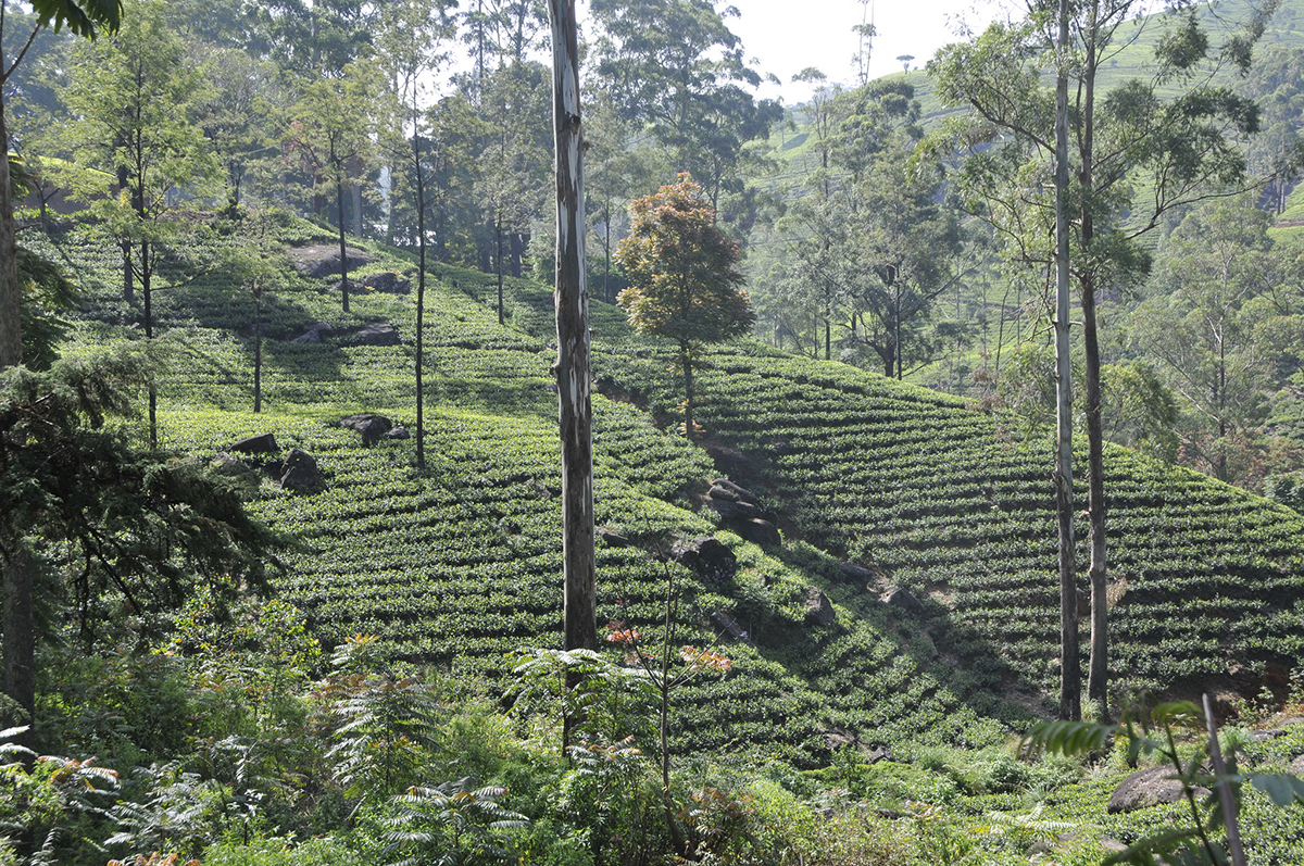 Tea plantation Sri Lanka Double-Barrelled Travel