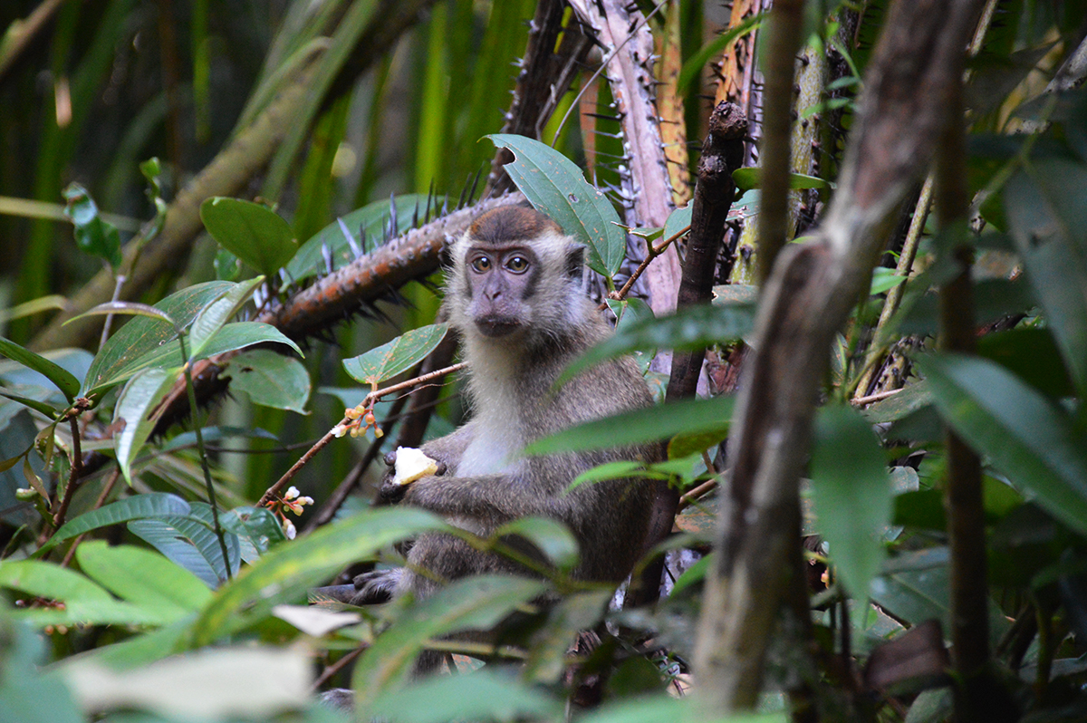 Things to do in Borneo Bako National Park macaque monkey Double-Barrelled Travel