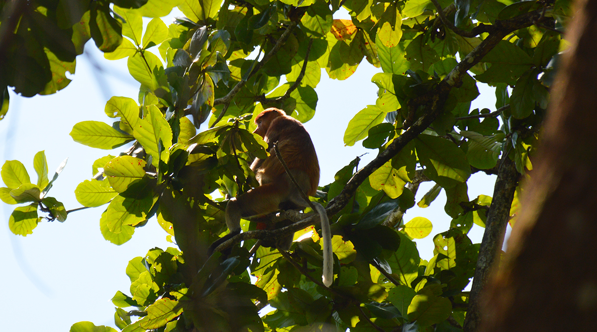 Things to do in Borneo Bako National Park proboscis monkey Double-Barrelled Travel