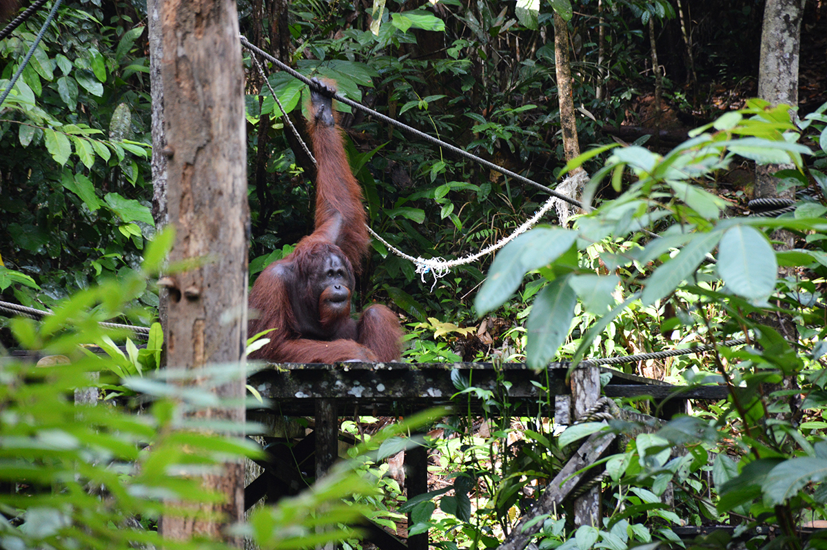 Things to do in Borneo Semenggoh Park orangutan Double-Barrelled Travel