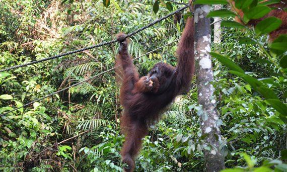 Things to do in Borneo Semenggoh Park orangutan eating Double-Barrelled Travel