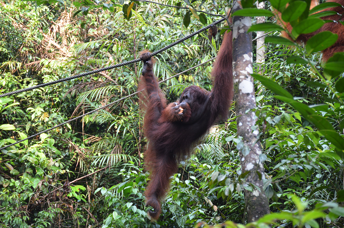 Things to do in Borneo Semenggoh Park orangutan eating Double-Barrelled Travel