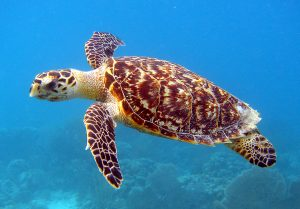 Sea Turtle St Barts things to do Double-Barrelled Travel