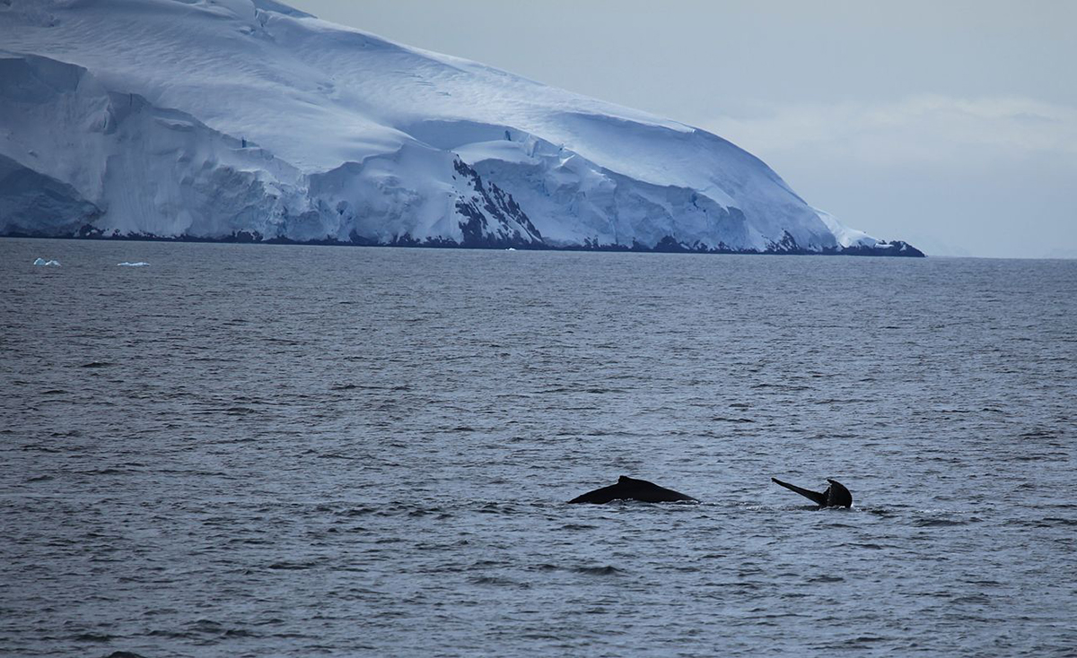 Whale watching things to do in Antarctica Double-Barrelled Travel