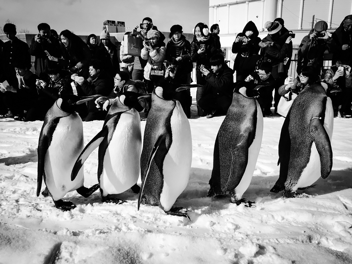 Asahiyama Zoo penguins things to do in Hokkaido Japan Double-Barrelled Travel