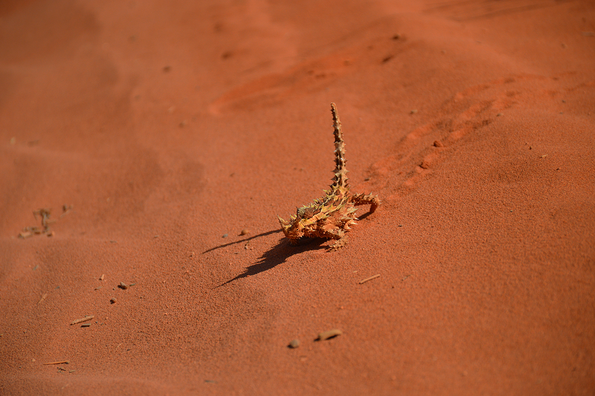 Thorny devil 2 Double-barrelled travel