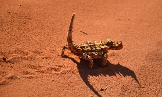 Thorny devil Francois Peron National Park Double-barrelled travel