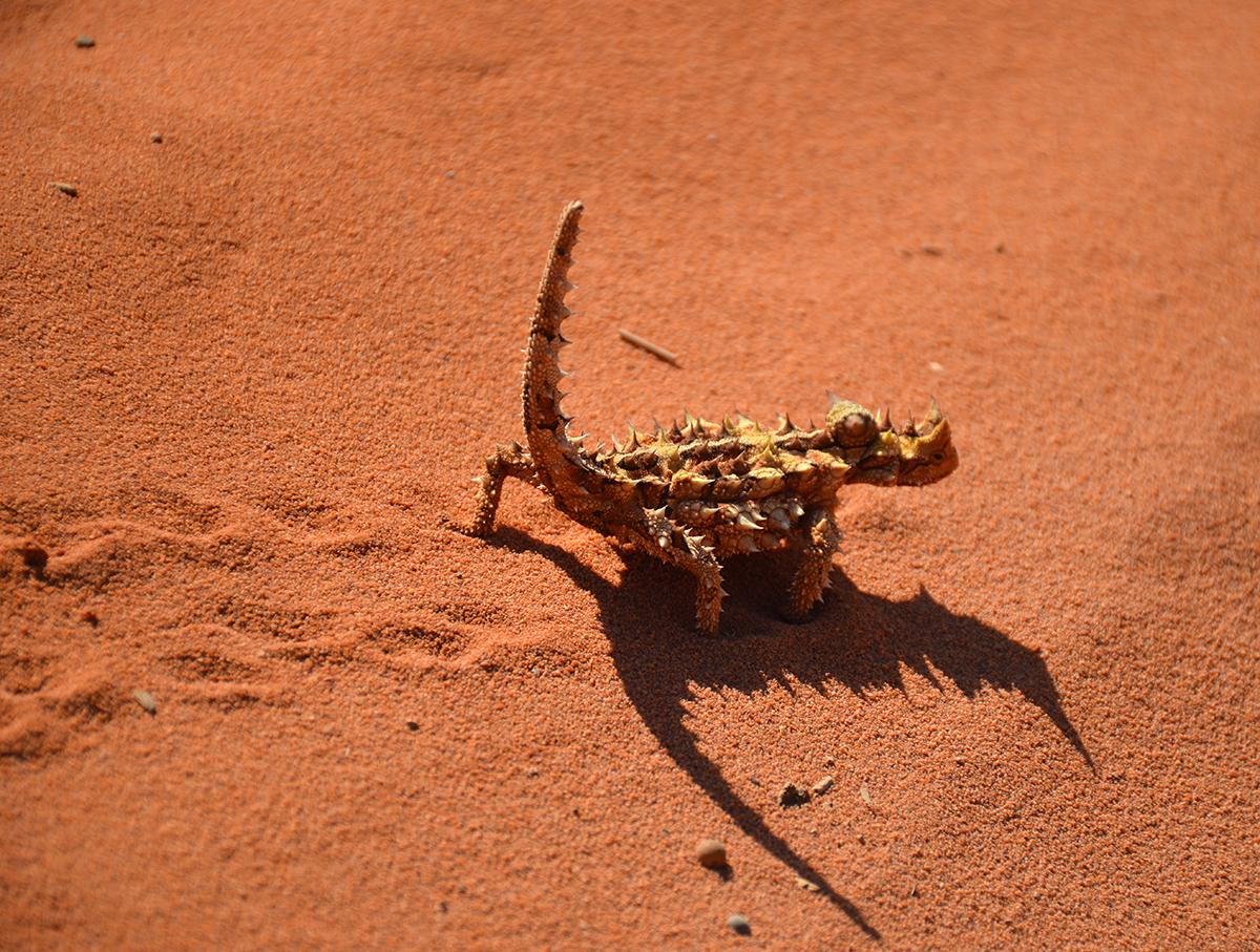 Thorny devil Francois Peron National Park Double-barrelled travel