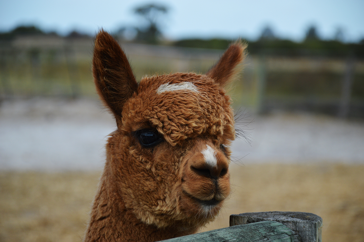 Alpaca Double-Barrelled Travel