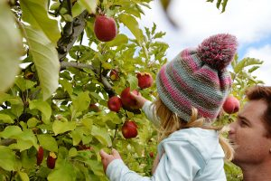 Apple picking earn money travelling Australia